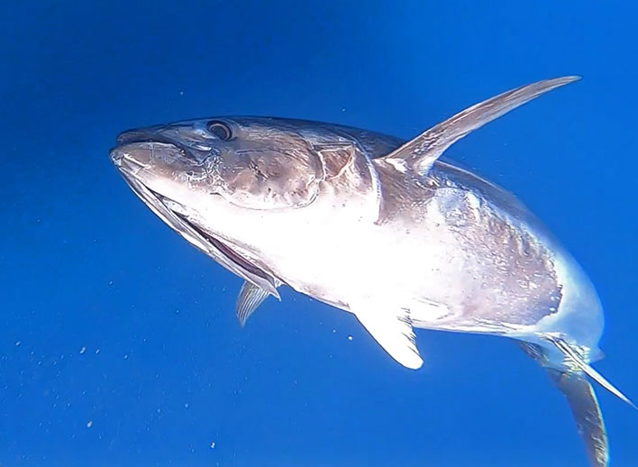Hochseefischen auf Mallorca (Riesenthunfisch) Angeln auf Mallorca